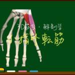 小指外転筋【3D筋肉・解剖学】