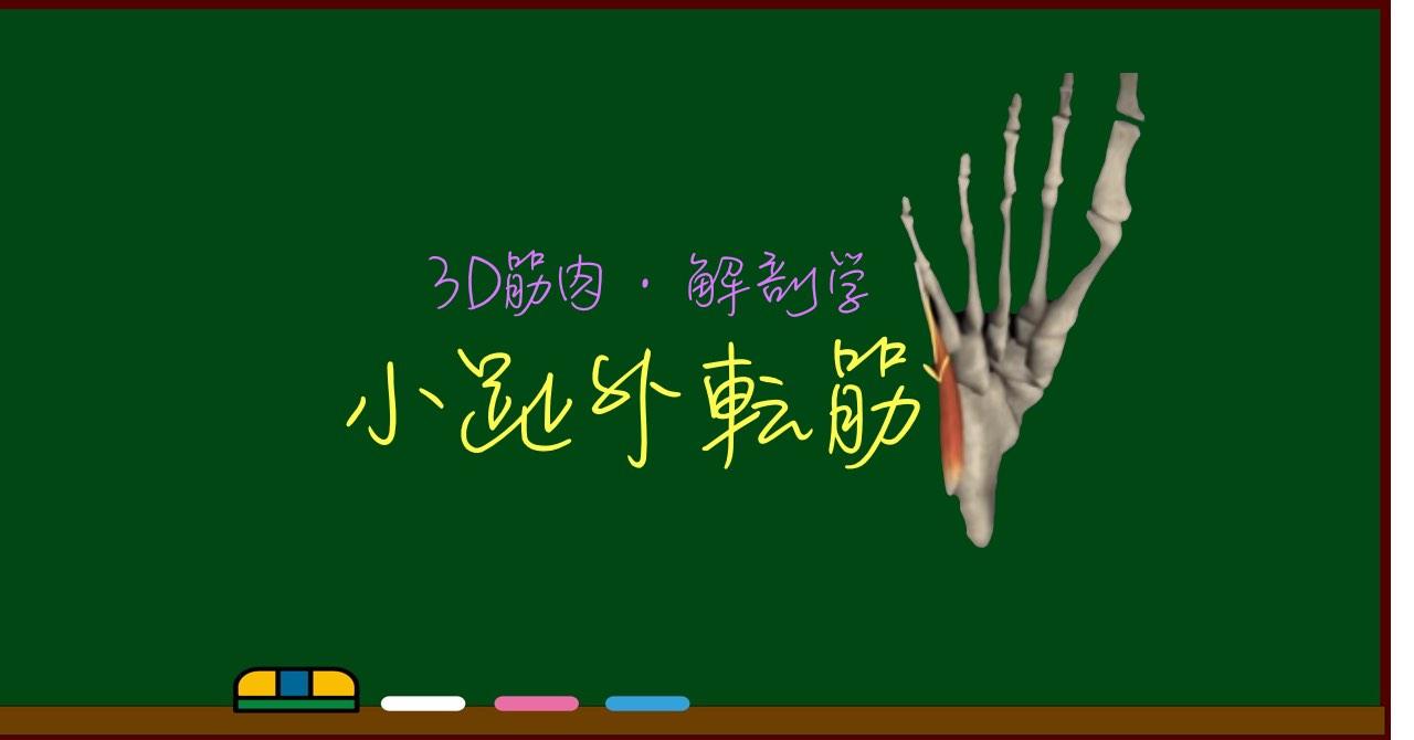 小趾外転筋【3D筋肉・解剖学】
