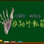 母趾外転筋【3D筋肉・解剖学】