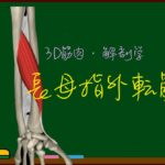 長母指外転筋【3D筋肉・解剖学】