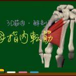 母指内転筋【3D筋肉・解剖学】