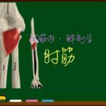 肘筋【3D筋肉・解剖学】
