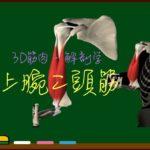 上腕二頭筋【3D筋肉・解剖学】