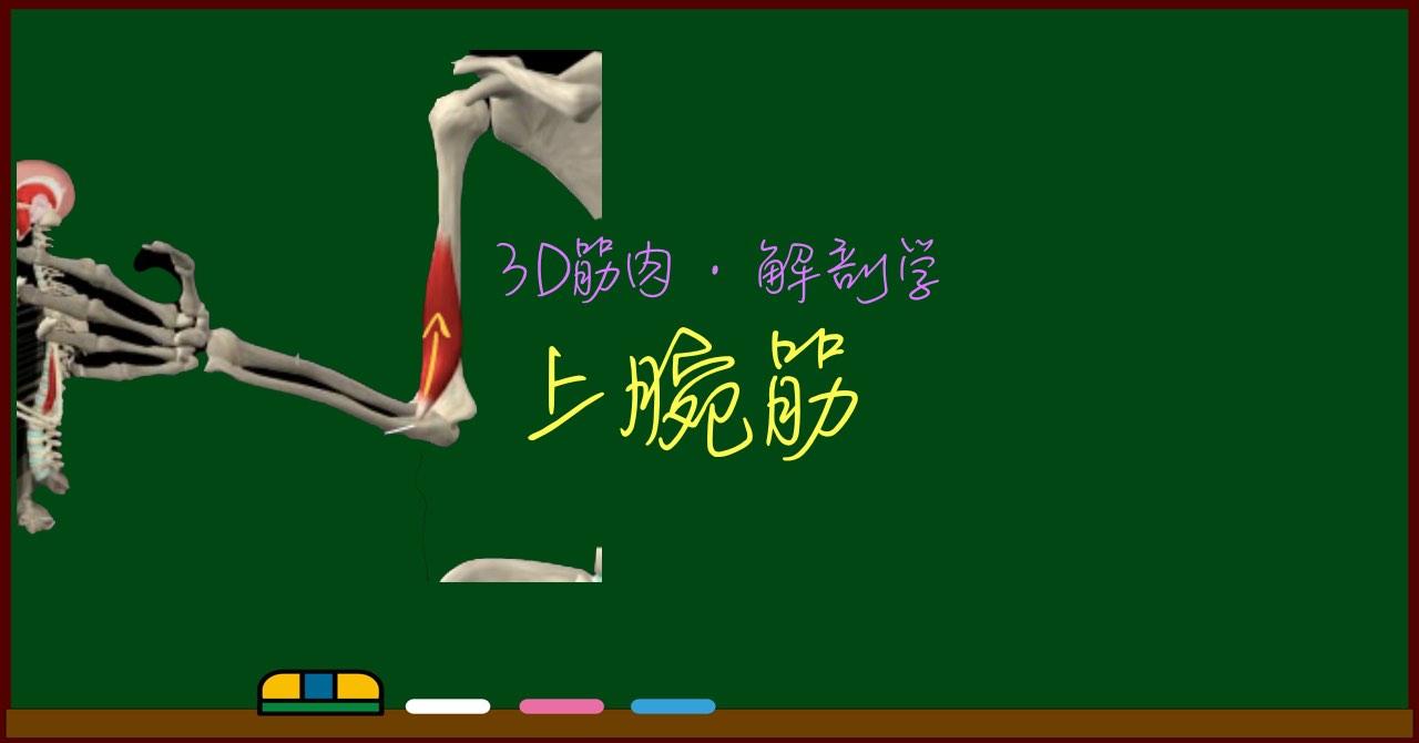 上腕筋【3D筋肉・解剖学】