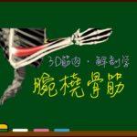 腕橈骨筋【3D筋肉・解剖学】