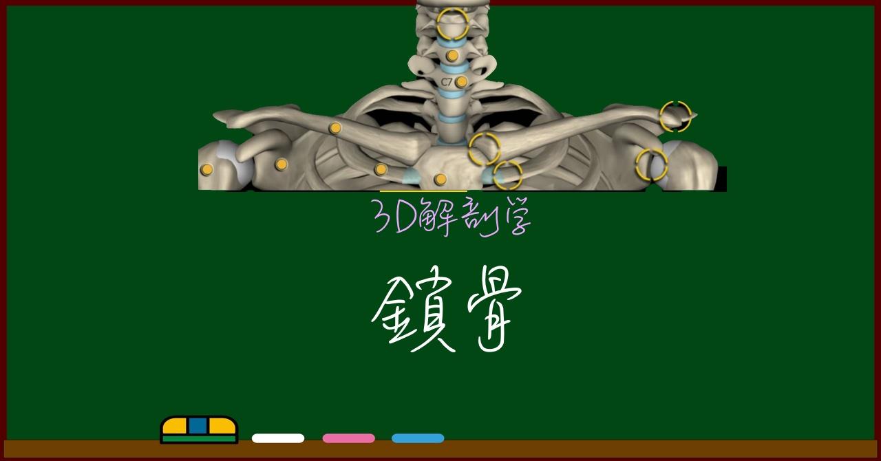 鎖骨【3D骨・解剖学】