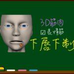 下唇下制筋【3D筋肉・解剖学】