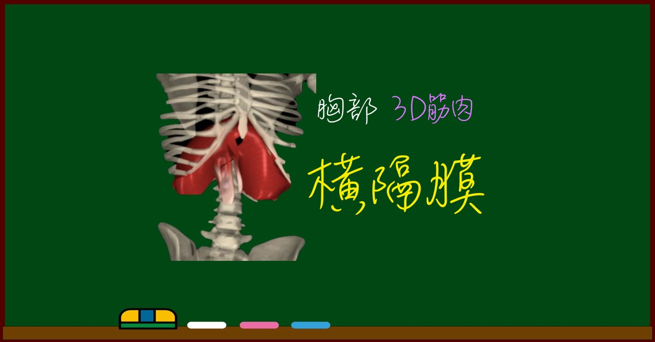 横隔膜【3D筋肉・解剖学】