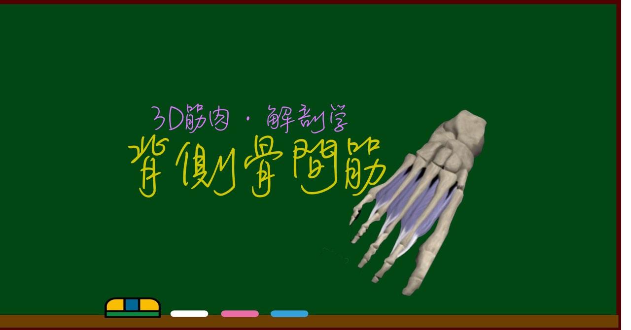 背側骨間筋(足)【3D筋肉・解剖学】