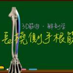 長橈側手根伸筋【3D筋肉・解剖学】