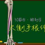尺側手根伸筋【3D筋肉・解剖学】