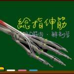 総指伸筋【3D筋肉・解剖学】