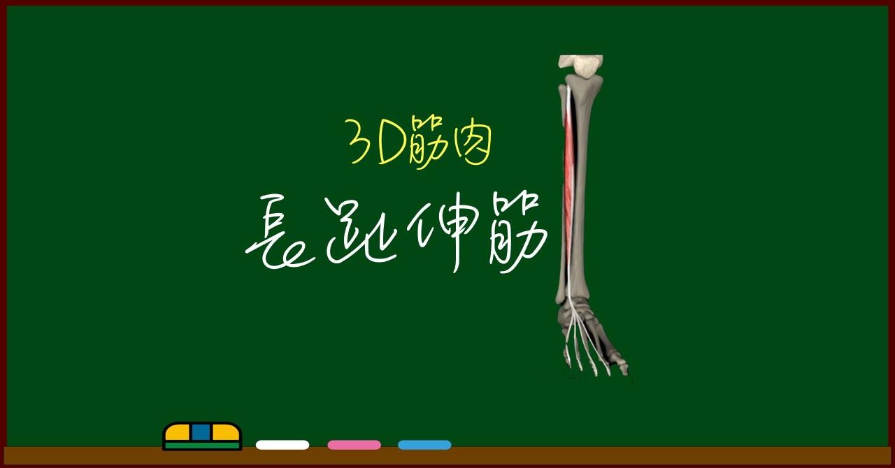 長趾伸筋【3D筋肉・解剖学】