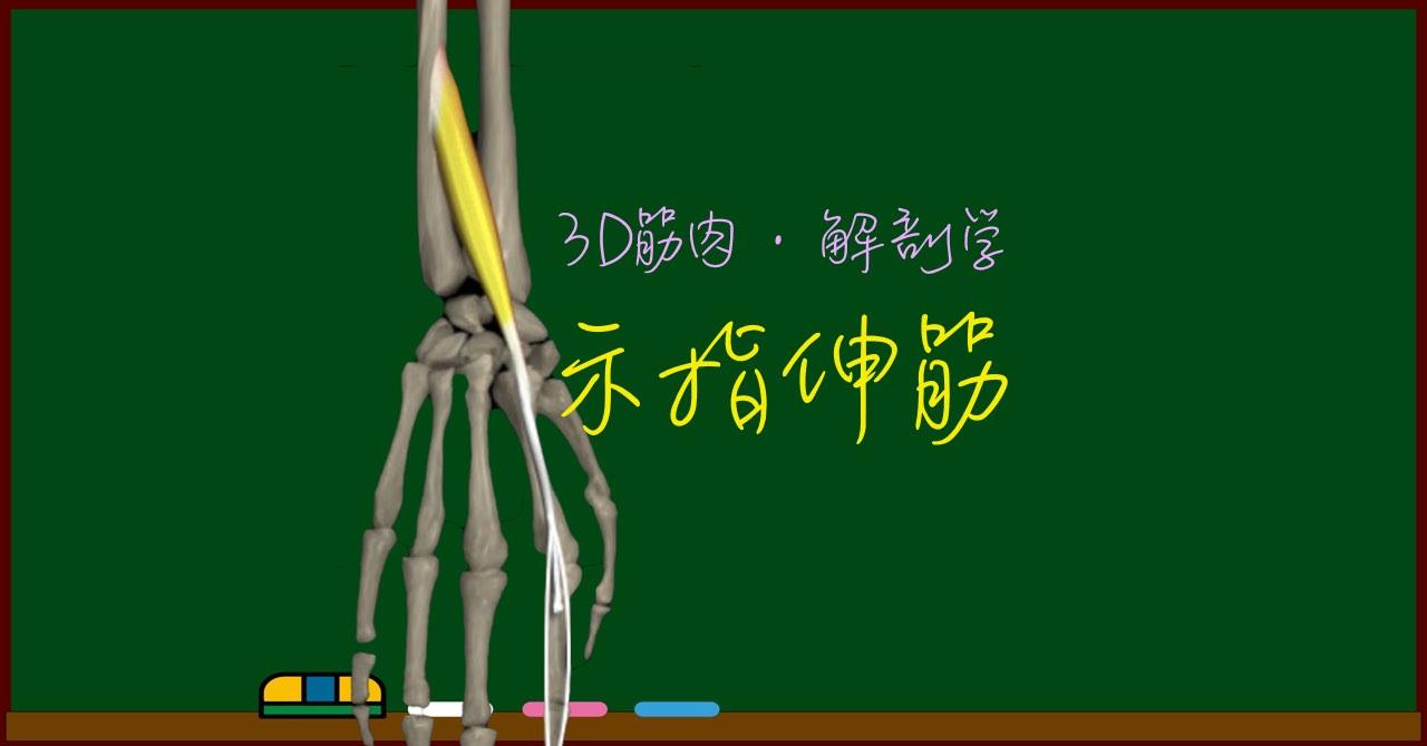 示指伸筋【3D筋肉・解剖学】