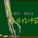 短母指伸筋【3D筋肉・解剖学】