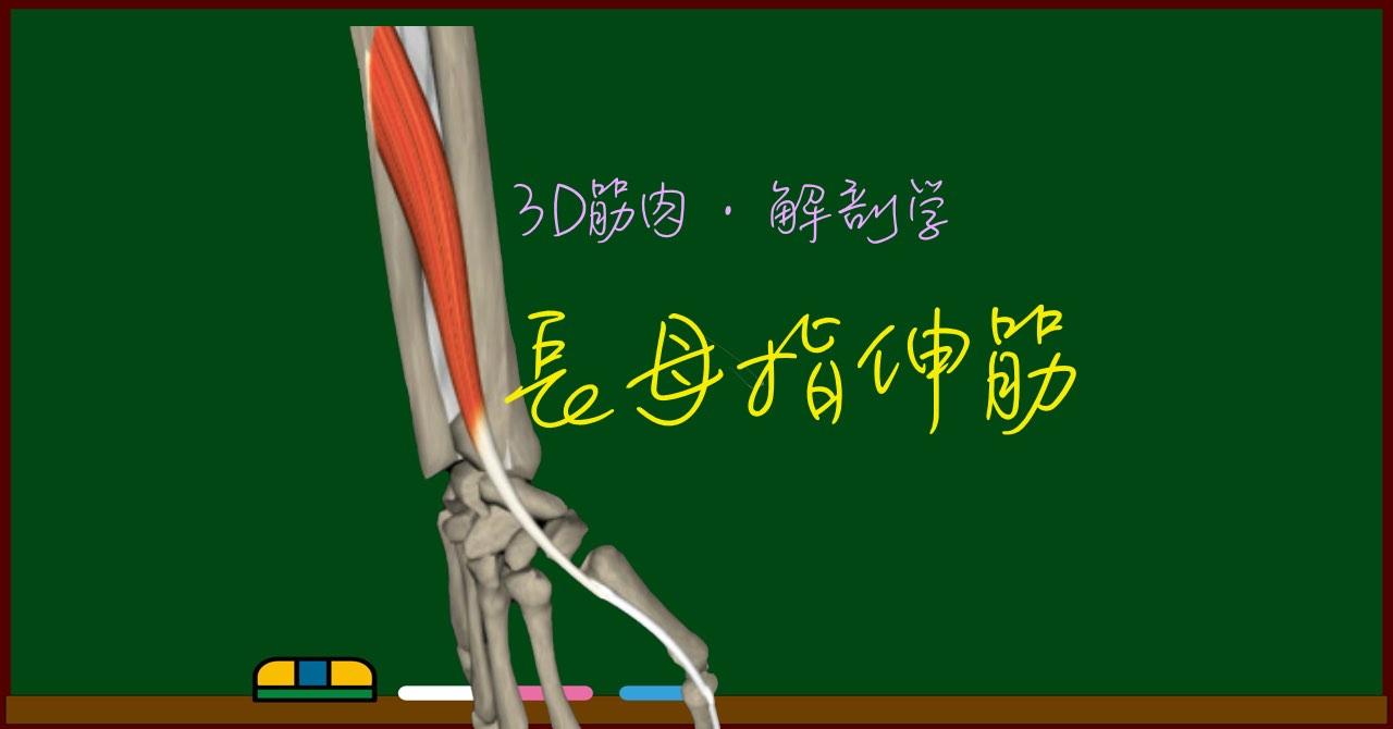 長母指伸筋【3D筋肉・解剖学】