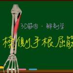 橈側手根屈筋【3D筋肉・解剖学】