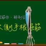 尺側手根屈筋【3D筋肉・解剖学】