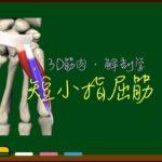 短小指屈筋【3D筋肉・解剖学】