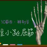 短小趾屈筋【3D筋肉・解剖学】