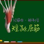短趾屈筋【3D筋肉・解剖学】