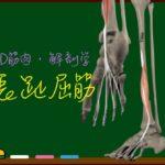 長趾屈筋【3D筋肉・解剖学】