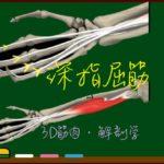 深指屈筋【3D筋肉・解剖学】
