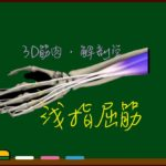 浅指屈筋【3D筋肉・解剖学】
