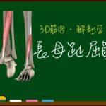 長母趾屈筋【3D筋肉・解剖学】