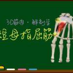 短母指屈筋【3D筋肉・解剖学】