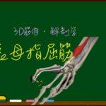 長母指屈筋【3D筋肉・解剖学】