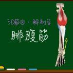 腓腹筋 (下腿三頭筋)【3D筋肉・解剖学】