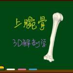 上腕骨【3D骨・解剖学】