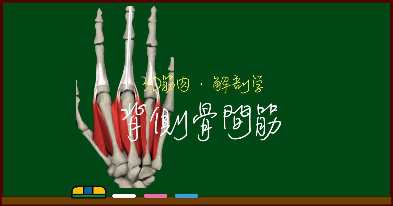 背側骨間筋【3D筋肉・解剖学】
