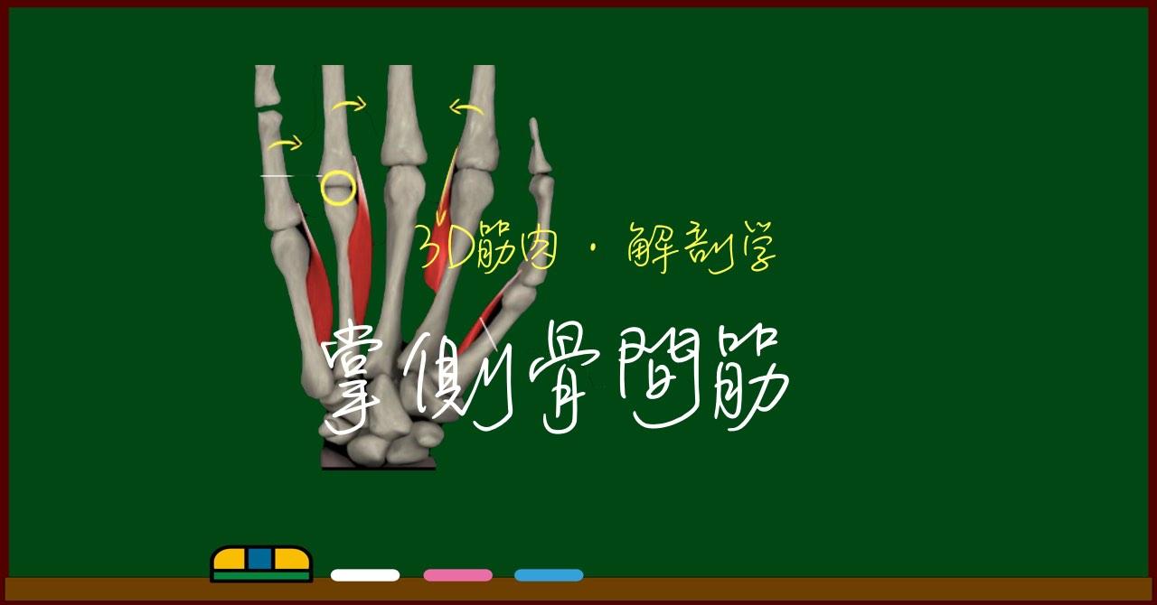 掌側骨間筋【3D筋肉・解剖学】
