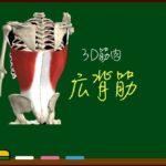 広背筋【3D筋肉・解剖学】