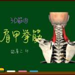 肩甲挙筋【3D筋肉・解剖学】