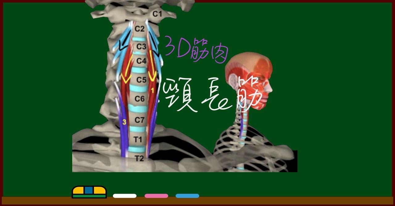 頸長筋【3D筋肉・解剖学】