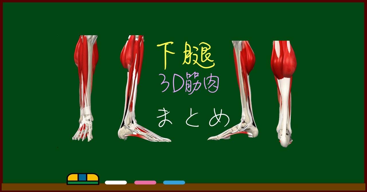 下腿の筋肉 まとめ(一覧)【3D筋肉・解剖学】