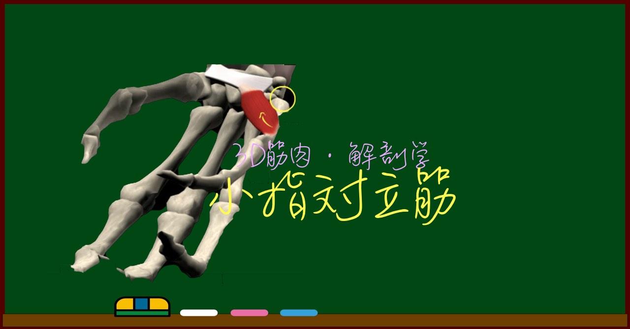 小指対立筋【3D筋肉・解剖学】