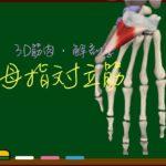 母指対立筋【3D筋肉・解剖学】