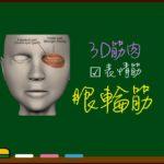 眼輪筋【3D筋肉・解剖学】