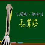 長掌筋【3D筋肉・解剖学】
