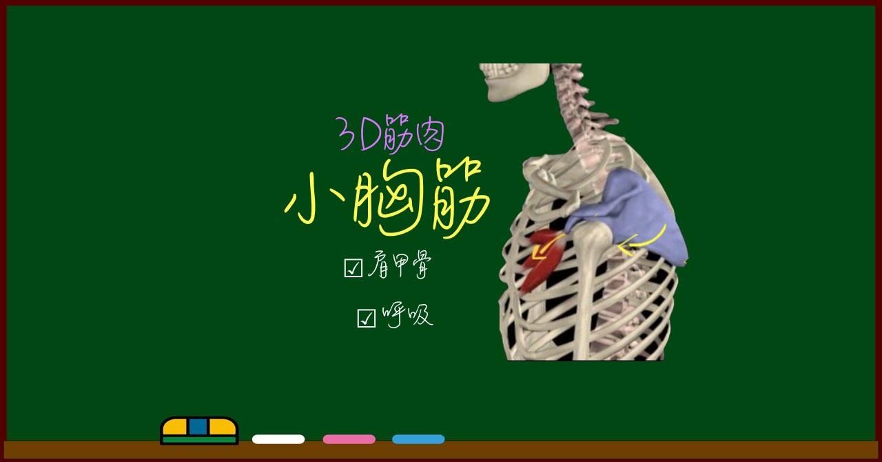 小胸筋【3D筋肉・解剖学】