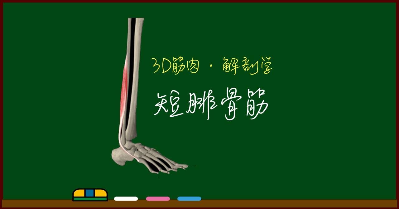 短腓骨筋【3D筋肉・解剖学】