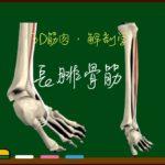 長腓骨筋【3D筋肉・解剖学】