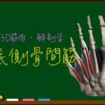 底側骨間筋【3D筋肉・解剖学】