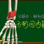 方形回内筋【3D筋肉・解剖学】
