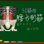 腰方形筋【3D筋肉・解剖学】