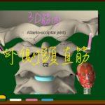 外側頭直筋(椎前筋群)【3D筋肉・解剖学】